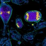 Nanolive- Mitosis